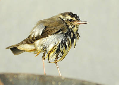 Photograph - Wet Warbler Resting. by Bradford Martin