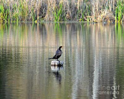 Phalacrocorax Auritus Photograph - Wet Wings by Al Powell Photography USA