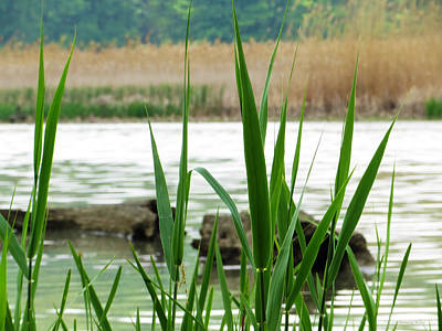 Photograph - Wetland Grass 2  by Shawna Rowe