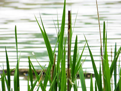 Photograph - Wetland Grass by Shawna Rowe