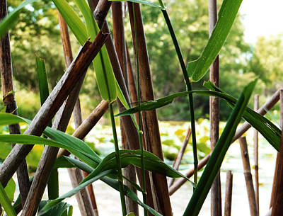 Photograph - Wetland Reeds by Shawna Rowe