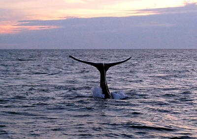Photograph - Whale At Sunset by Caroline Stella