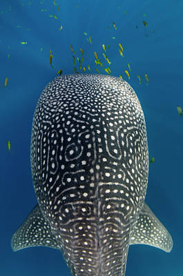 Whale Shark And Golden Trevally Art Print by Pete Oxford