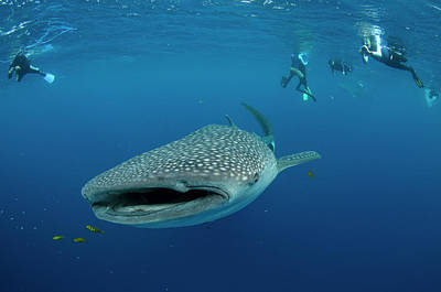 Whale Shark And People Art Print by Pete Oxford