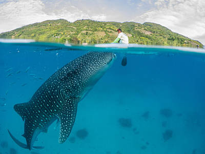 Whale Shark Feeding From Canoe In The Philippines Original