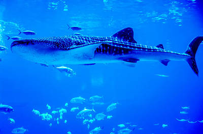 Photograph - Whale Sharks Swimming In Aquarium With People Observing by Alex Grichenko