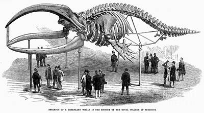 Whale Skeleton, 1866 Art Print by Granger