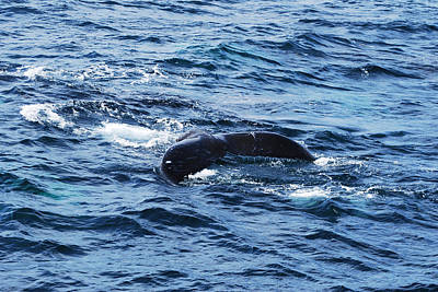 Photograph - Whale Tail 3 by Lorena Mahoney