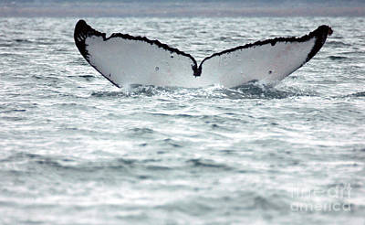 Photograph - Whale Tail  by Cindy Murphy - NightVisions
