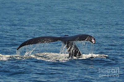Photograph - Whale Tail by Randi Grace Nilsberg