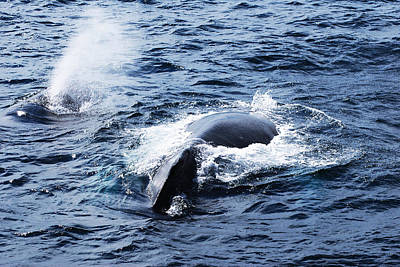 Photograph - Whales Family by Lorena Mahoney