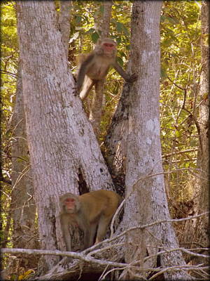 Photograph - What A Pair Rhesus Monkeys 1 by Sheri McLeroy