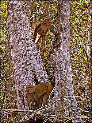 Photograph - What A Pair Sketch Rhesus Monkeys by Sheri McLeroy