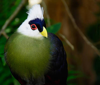 Photograph - White Crested Turaco by Penny Lisowski