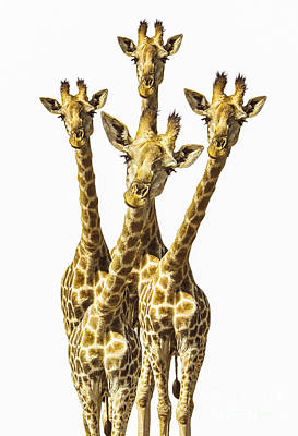 Giraffe Wall Art - Photograph - What Are You Looking At? by Diane Diederich