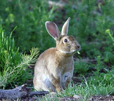 Jack Rabbit Photograph - What Do You Mean I Have To Lay An Egg  by Jeff Swan