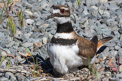 Killdeer Photograph - What Eggs? by Kathleen Bishop
