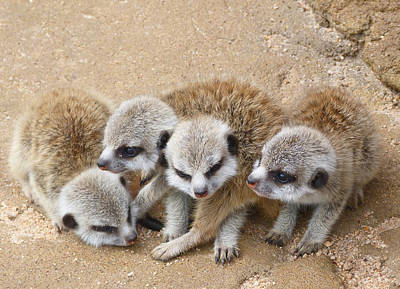 Photograph - What Next - Baby Meerkats by Margaret Saheed