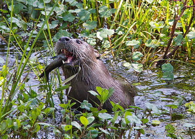 Photograph - What Sound Does An Otter Make? by Phil Stone