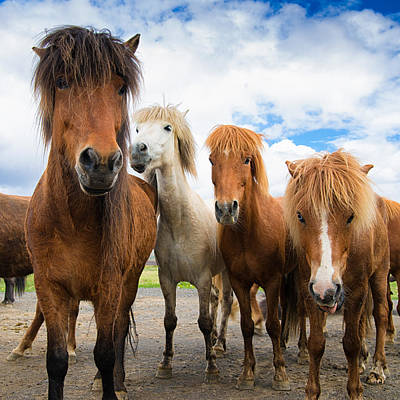Photograph - Whats Going On - Four Curious Iceland Horses by Matthias Hauser