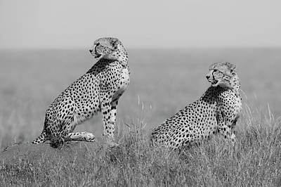 Cheetah Wall Art - Photograph - What's Going On Here Around? by Marco Pozzi