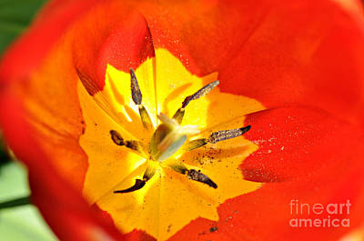 Photograph - What's Inside The Tulip  by Mindy Bench