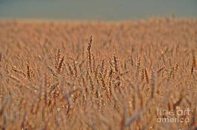 Photograph - Wheat    Grain by Randy J Heath