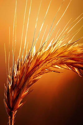 Golden Photograph - Wheat Close-up by Johan Swanepoel