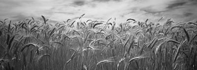 Ripe Photograph - Wheat Crop Growing In A Field, Palouse by Panoramic Images