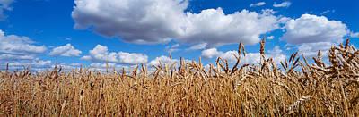 Wheat Crop Growing In A Field Art Print