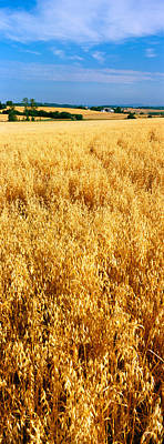 Willamette Valley Photograph - Wheat Crop In A Field, Willamette by Panoramic Images