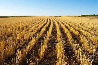 Wheat Field Art Print by Juli Scalzi
