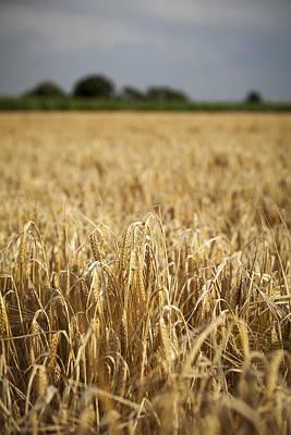 Corn Wall Art - Photograph - Wheat Field by Samuel Whitton
