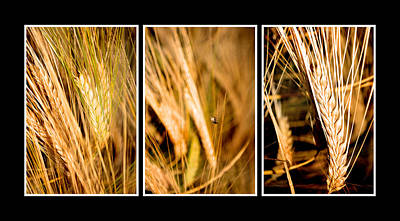 Wheat Fields In Series Of Three Original by Tommytechno Sweden