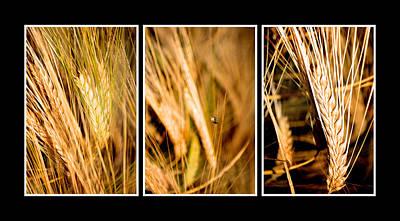 Wheat Fields In Series Of Three Original