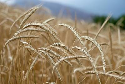 Peoples Republic Of China Photograph - Wheat Fields In Yunnan Province In China by Tony Camacho
