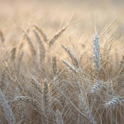 Beautiful Photograph - #wheat #france #rsa_ladies #rsa_nature by Georgia Fowler