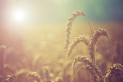 Peaceful Scene Photograph - Wheat Growing In The Sunlight by Wladimir Bulgar