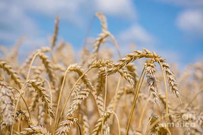 Photograph - Wheat Landscape by Cheryl Baxter