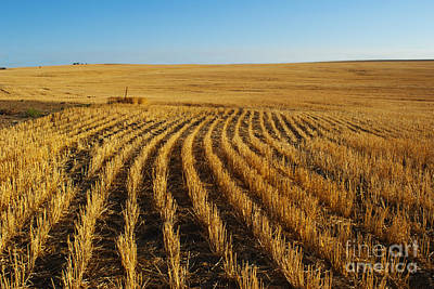 Photograph - Wheat Rows by Juli Scalzi