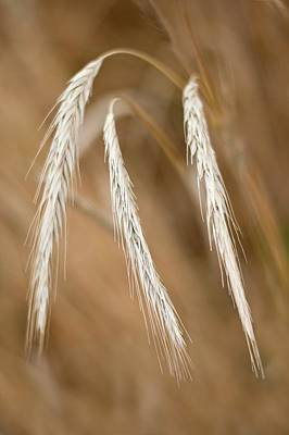 Peoples Republic Of China Photograph - Wheat Spikelet by Tony Camacho