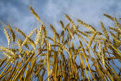 Photograph - Wheat Standing Tall by Ron Pate