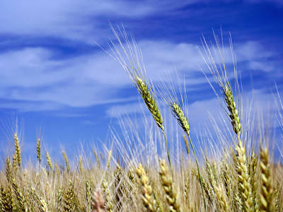 Art Print featuring the photograph Wheat Trio by Keith Armstrong