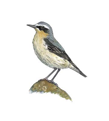 Wheatear, Artwork Art Print by Science Photo Library