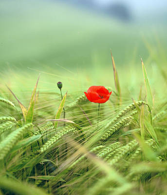 Photograph - Wheatfield Poppy by Christopher Rees