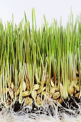Seed Sprouting Photograph - Wheatgrass Seedling by Cordelia Molloy