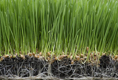Sprout Photograph - Wheatgrass by Tim Gainey