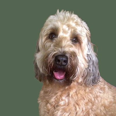 Art Print featuring the photograph Wheaton Terrier by Karen Zuk Rosenblatt