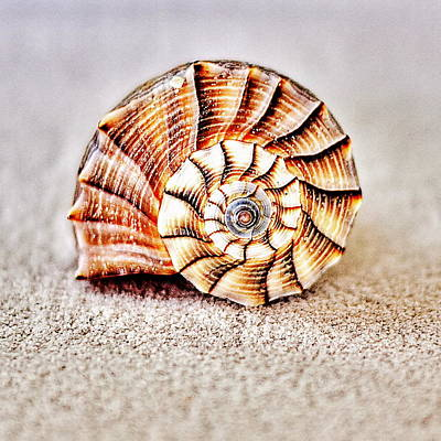 Photograph - Whelk by Benjamin Yeager