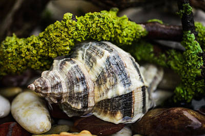 Photograph - Whelk I by Marco Oliveira